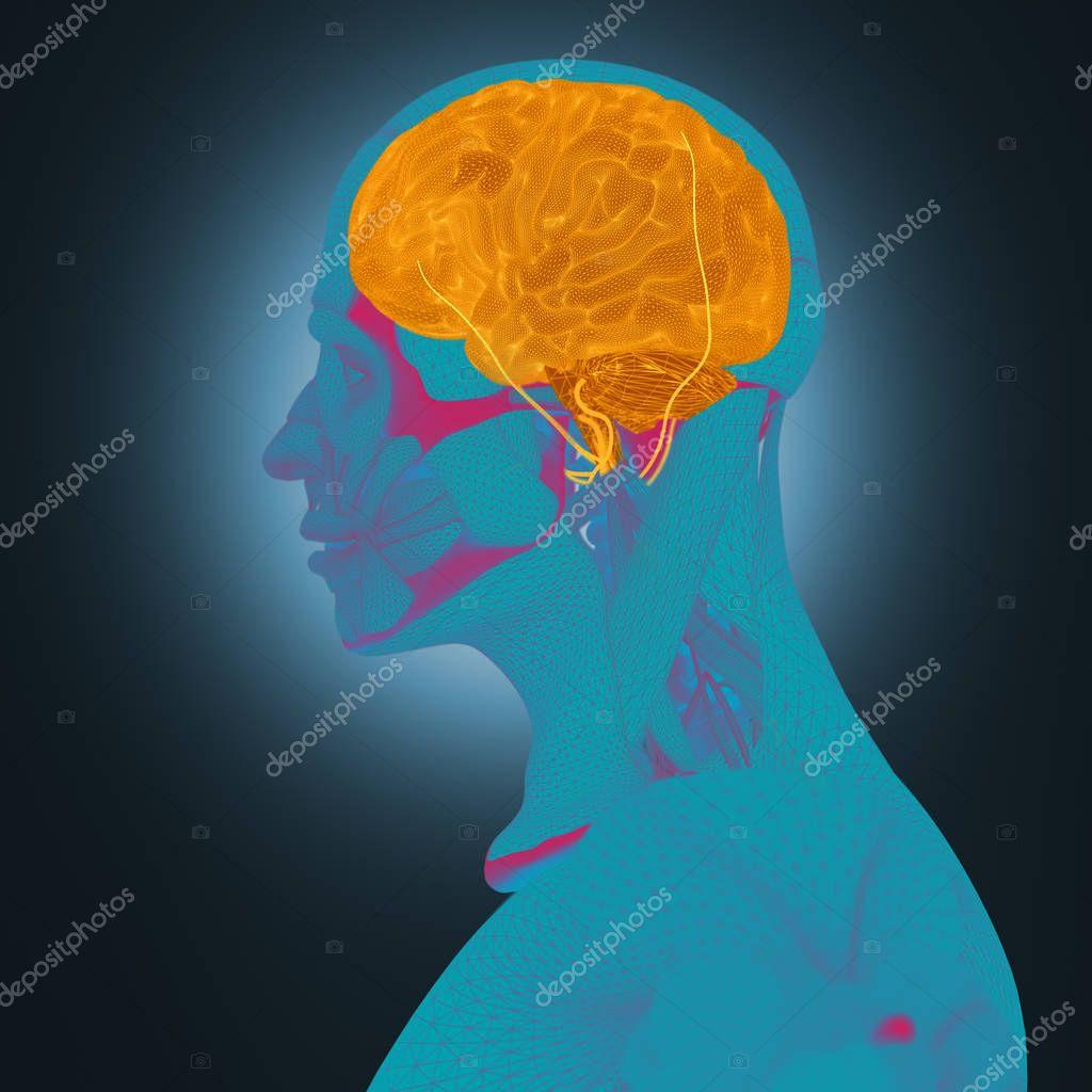 Anatomía humana, cerebro — Fotos de Stock © AnatomyInsider #129011282