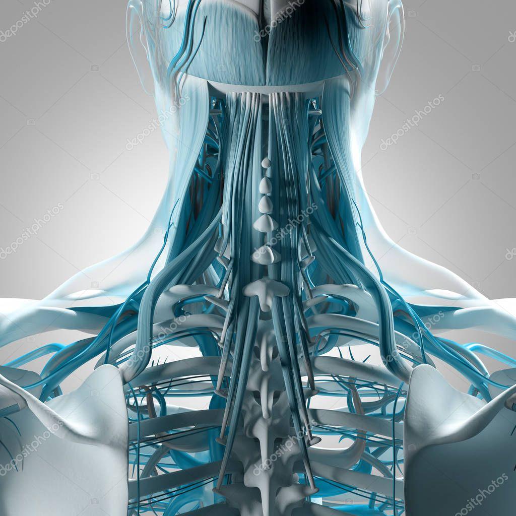 Human Neck And Spine Anatomy Model Stock Photo Anatomyinsider