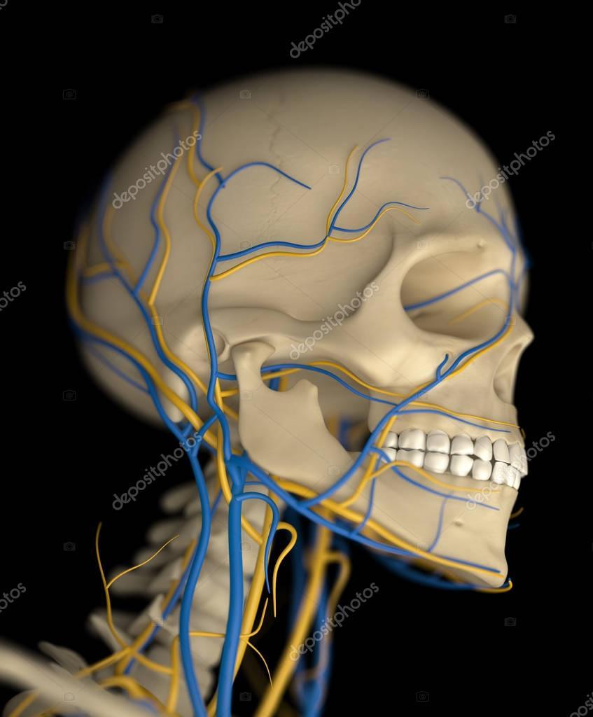 Human Skull anatomy model — Stock Photo © AnatomyInsider #129011598