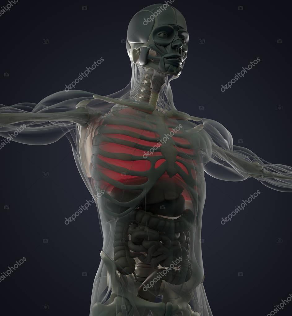 Modelo de anatomía de los pulmones — Fotos de Stock © AnatomyInsider ...