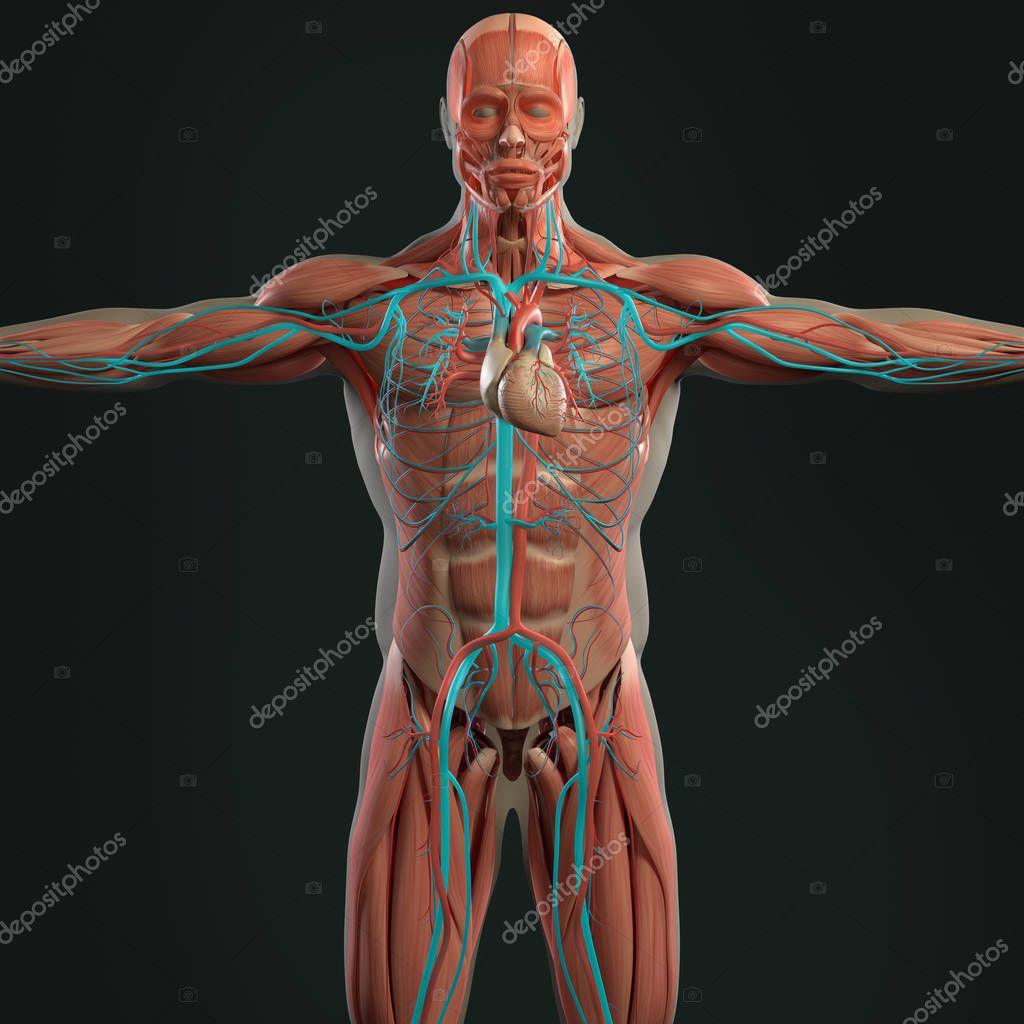 menschliche Anatomie Modell — Stockfoto © AnatomyInsider #129011648