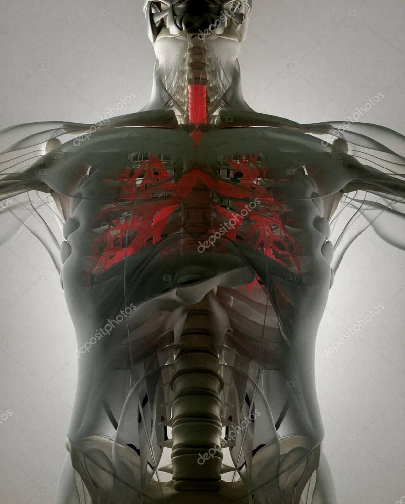 modelo de anatomía de bronquio humano — Fotos de Stock ...