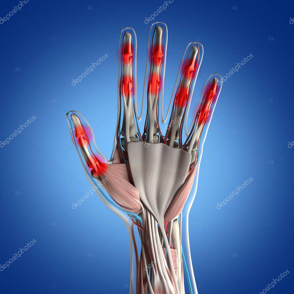 Human Hand Anatomy Model Stock Photo Anatomyinsider 129011890