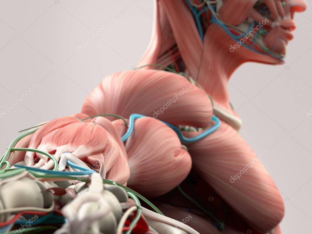 Menschlicher Arm Anatomie Modell — Stockfoto © AnatomyInsider #129011894