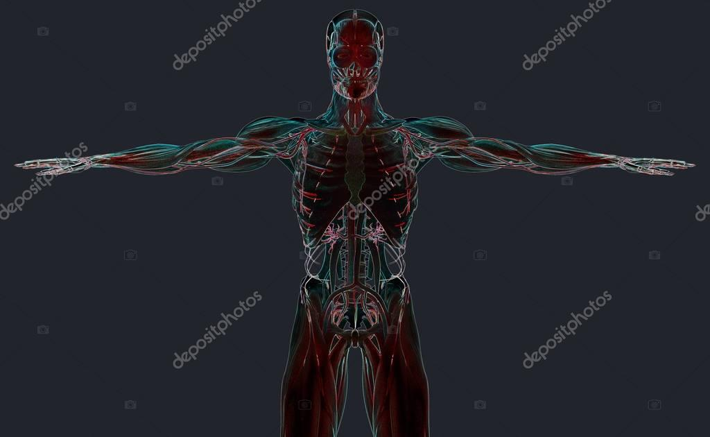 menschliche Anatomie Modell — Stockfoto © AnatomyInsider #129011952
