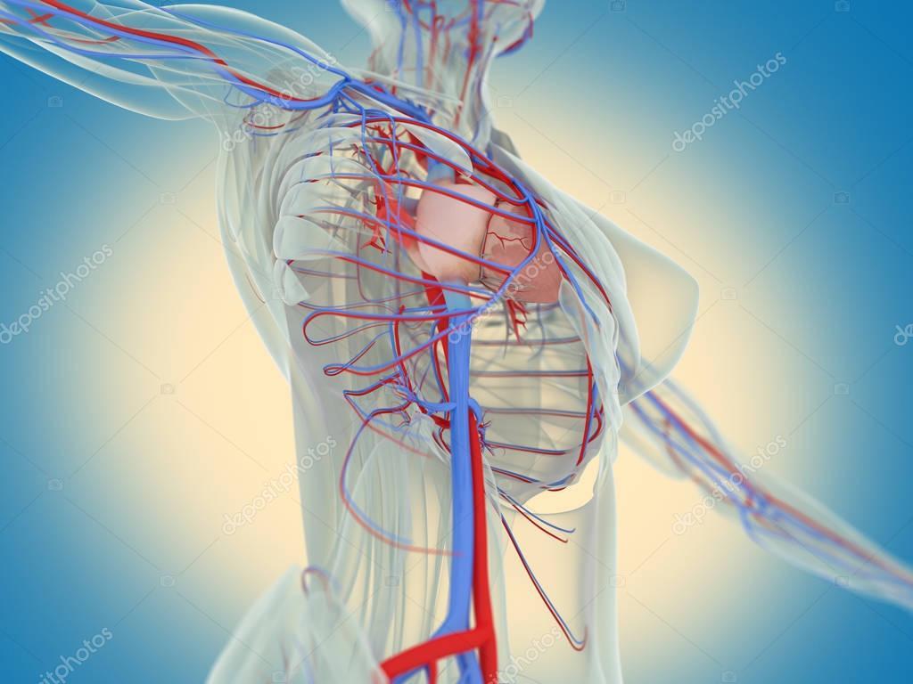 Anatomie des weiblichen Körpers — Stockfoto © AnatomyInsider #129012096