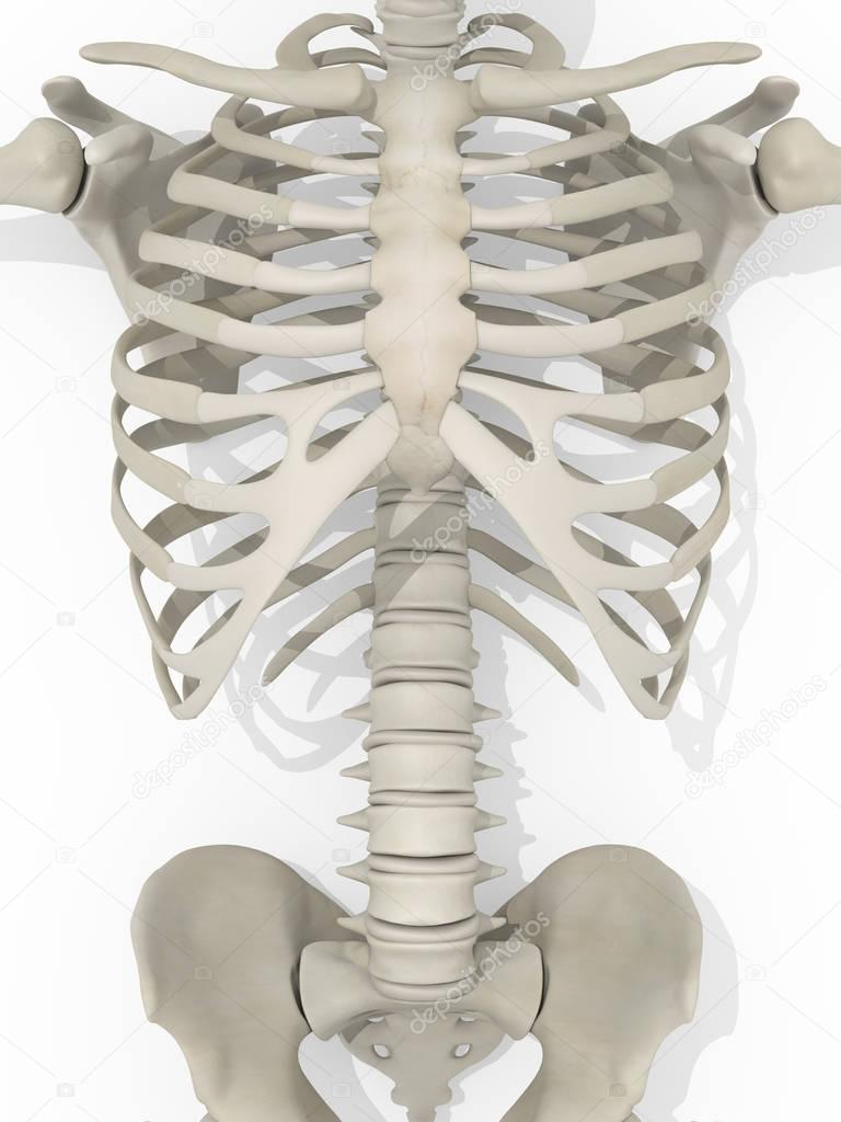 Human rib cage anatomy model — Stock Photo © AnatomyInsider #129012106