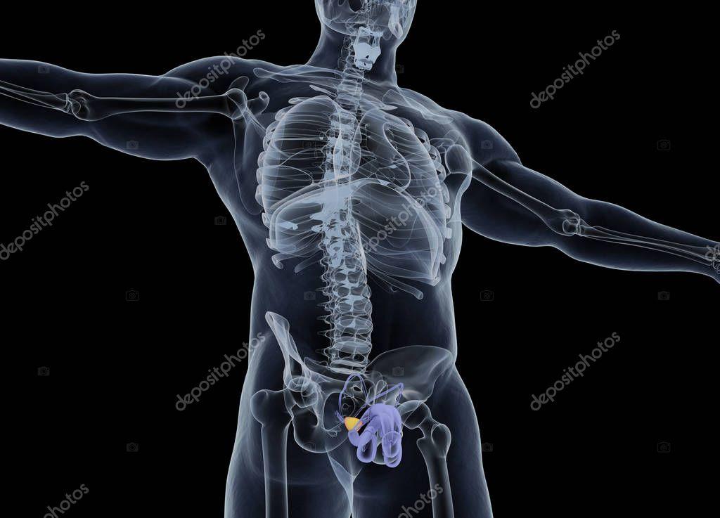 Prostata-Anatomie-Modell — Stockfoto © AnatomyInsider #129012318