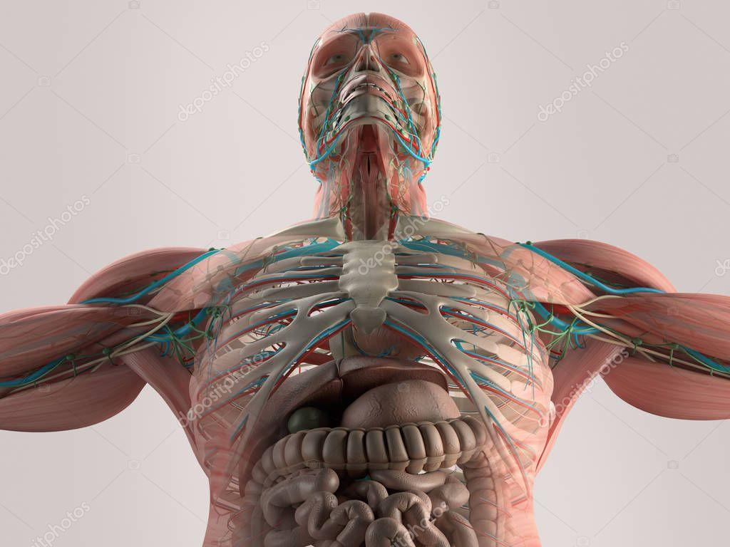 Menschliche Eingeweide Anatomie Modell — Stockfoto © AnatomyInsider ...