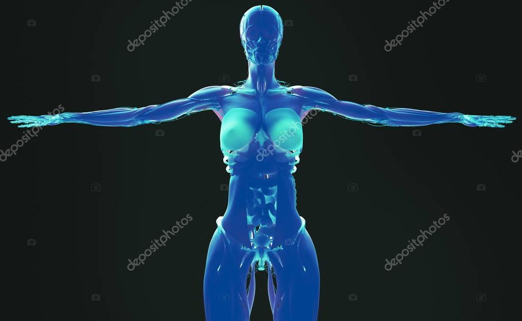 Anatomie des weiblichen Körpers — Stockfoto © AnatomyInsider #129012356