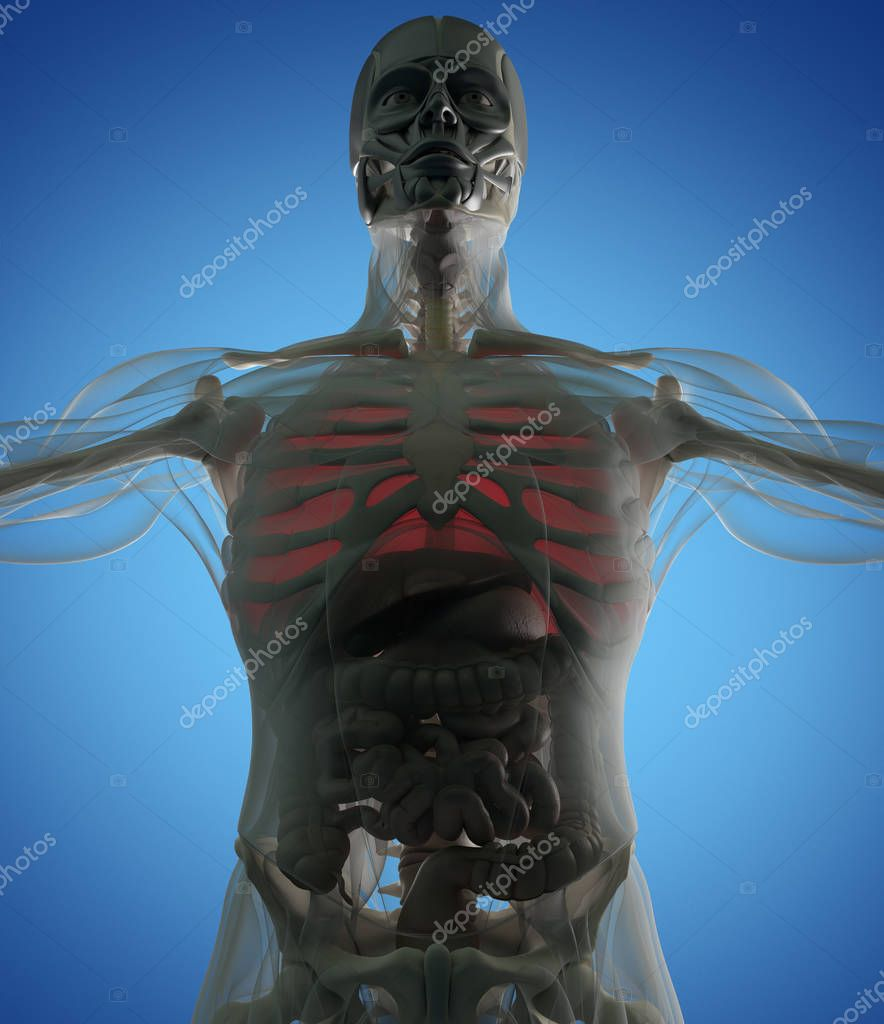 Menschliche Lunge Anatomie Modell — Stockfoto © AnatomyInsider ...