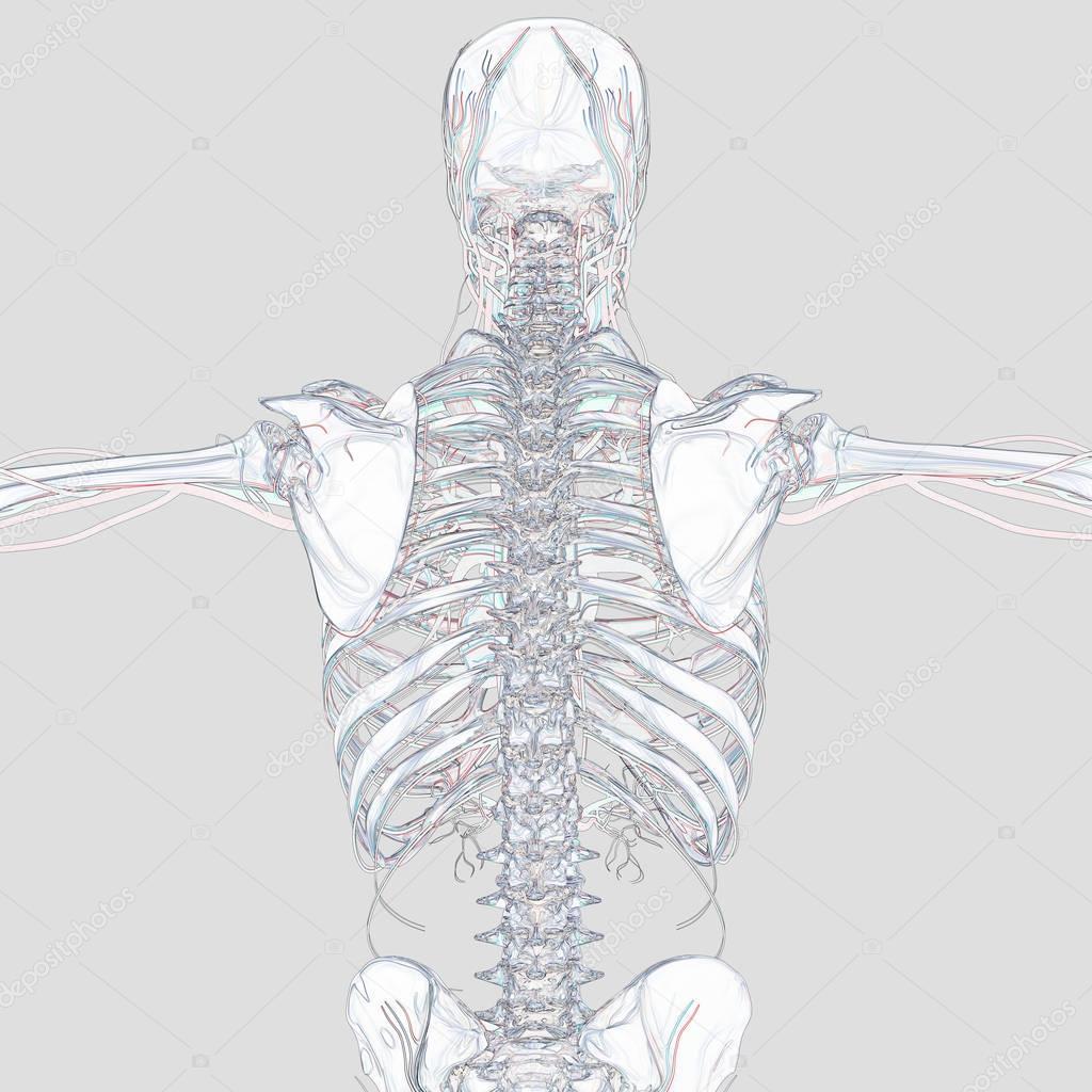 Human Skeleton Anatomy Model Stock Photo Anatomyinsider 129012608