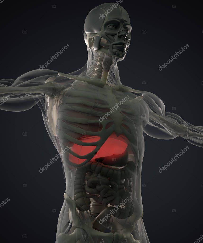 menschliche Anatomie Modell — Stockfoto © AnatomyInsider #129012858