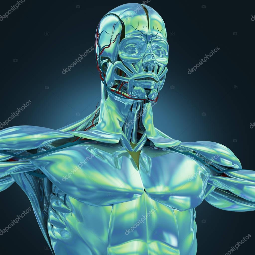Chrom-Anatomie-Modell — Stockfoto © AnatomyInsider #129012908