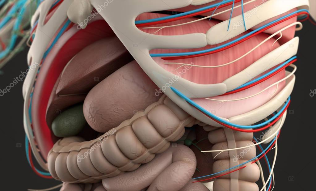 modelo de anatomía humana — Fotos de Stock © AnatomyInsider #129012970