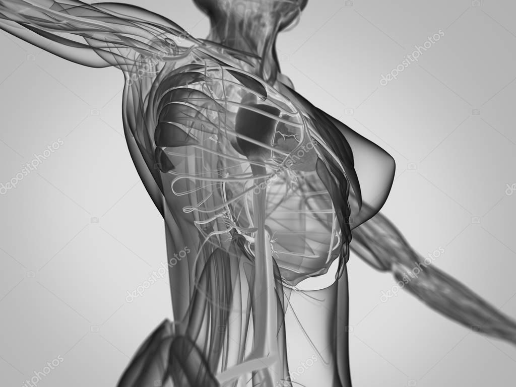 Anatomie des weiblichen Körpers — Stockfoto © AnatomyInsider #129013236
