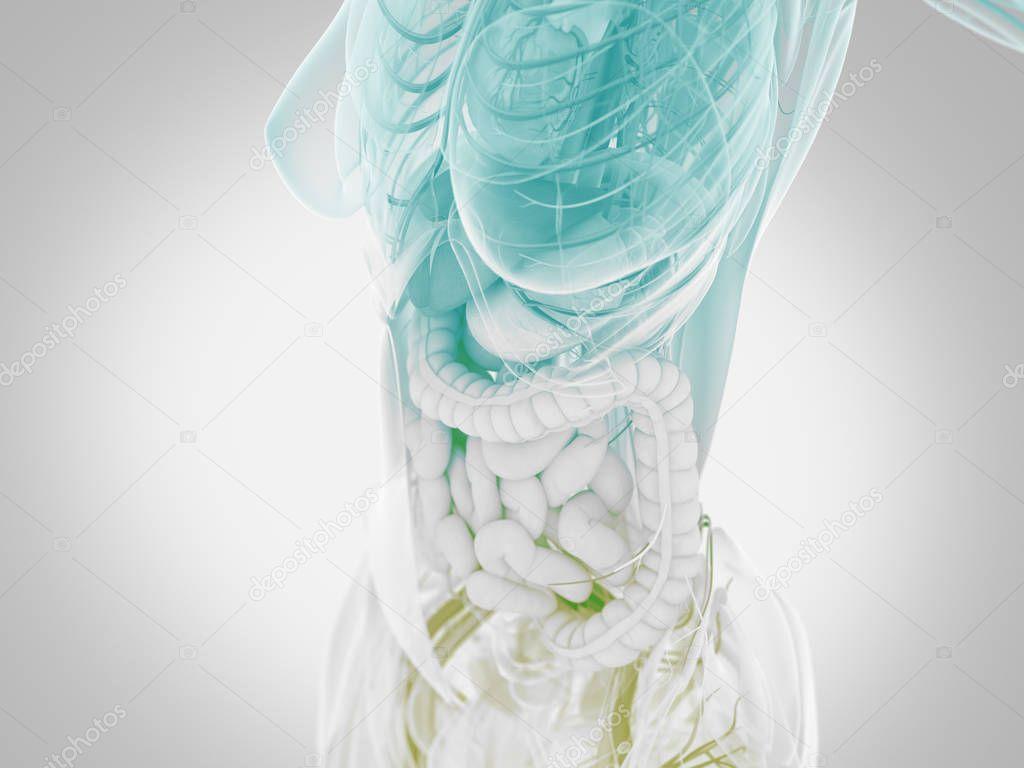Anatomía de torso femenino — Foto de stock © AnatomyInsider #129013354