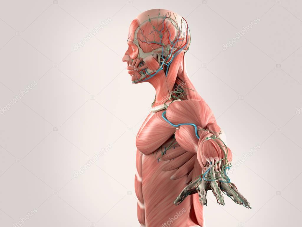 männliche Anatomie Modell — Stockfoto © AnatomyInsider #129013378