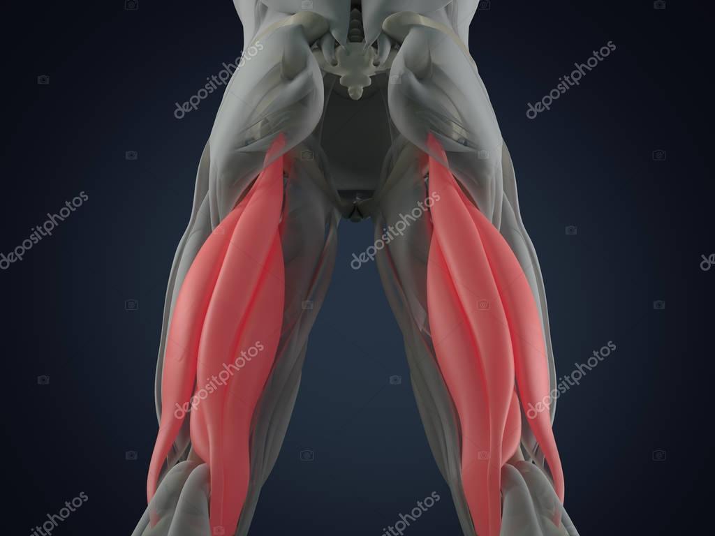 Modelo de anatomía muscular del tendón de la corva grupo — Foto de ...