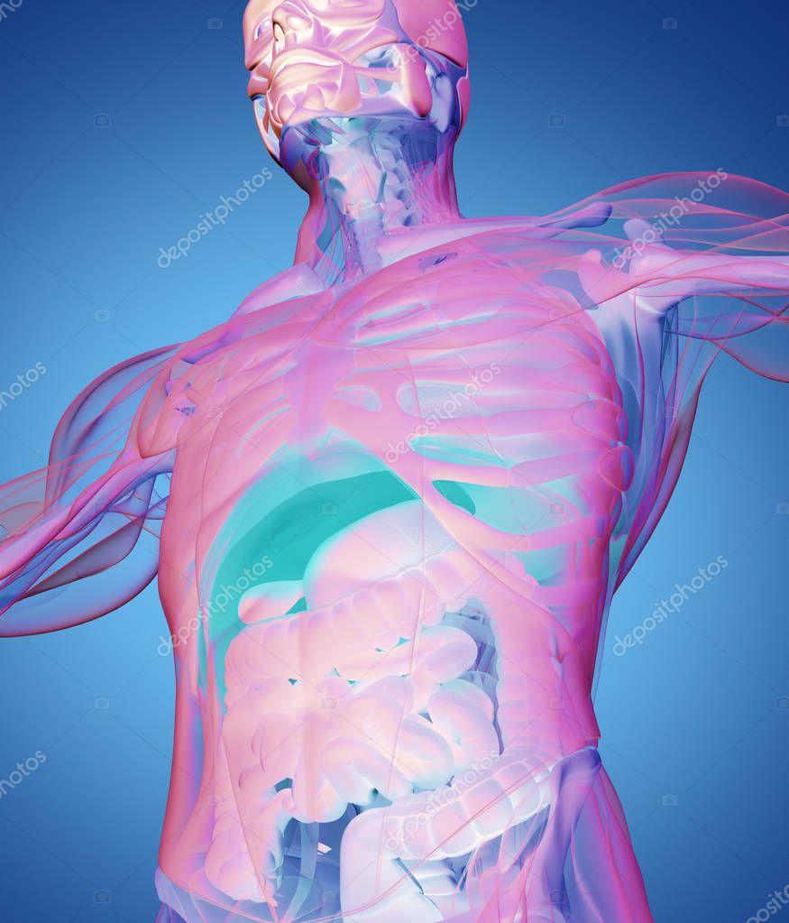 menschliche Anatomie Modell — Stockfoto © AnatomyInsider #129013558