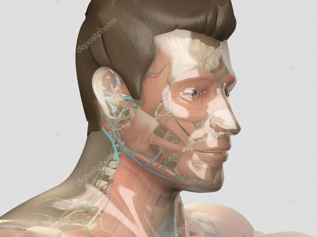 Human anatomy model with glass skin — Stock Photo © AnatomyInsider ...