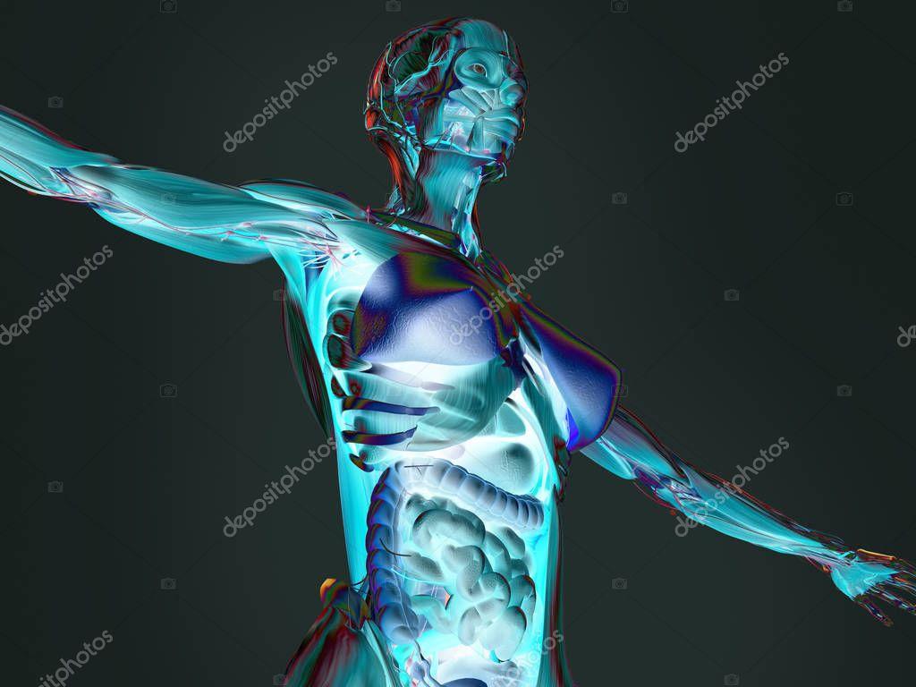 Anatomie des weiblichen Körpers — Stockfoto © AnatomyInsider #129013630
