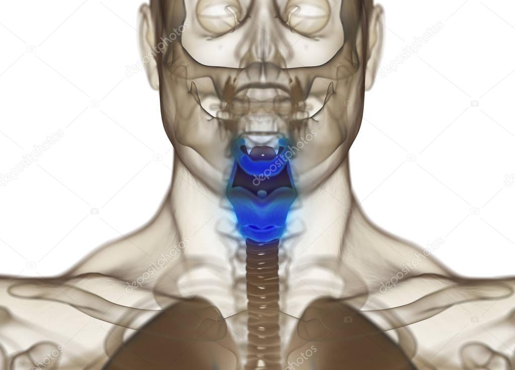Modelo de anatomía humana de la glándula tiroides — Fotos de Stock ...