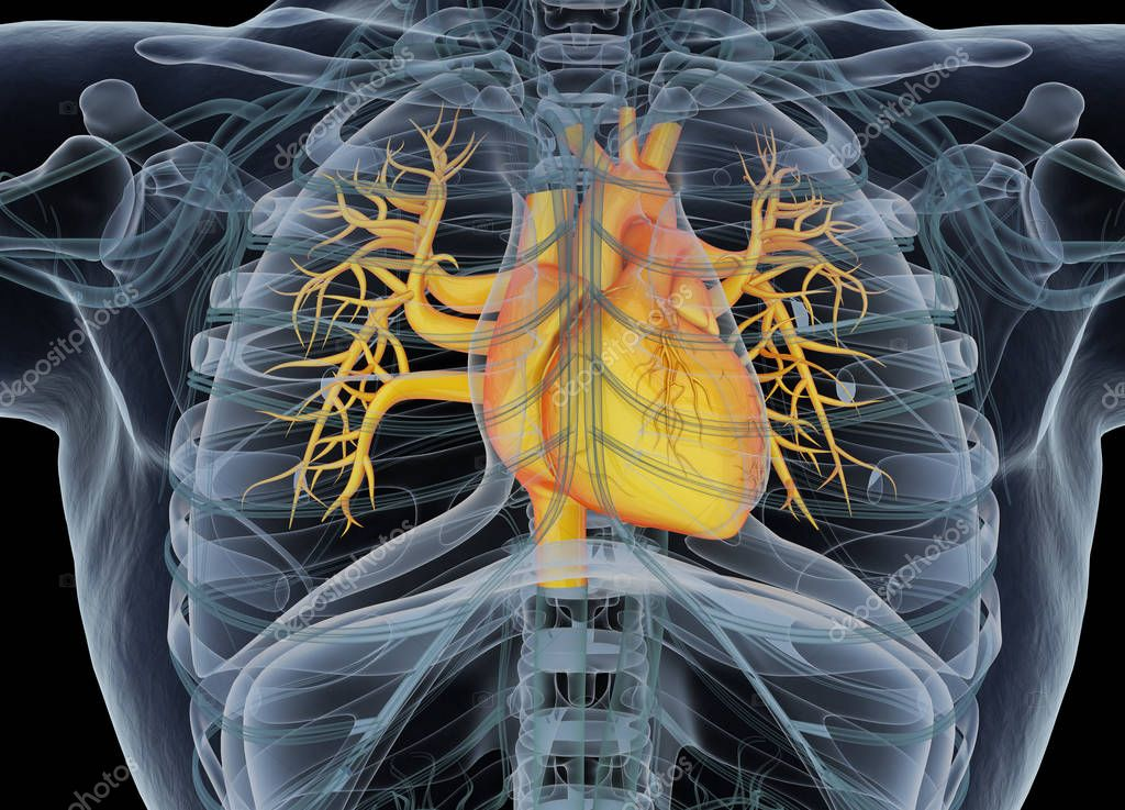 Human heart anatomy model stock photo anatomyinsider 129013676 human heart anatomy model stock photo ccuart Choice Image