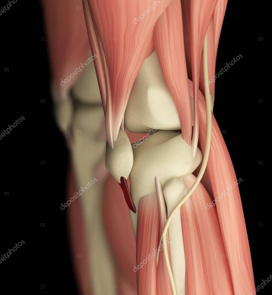 menschlichen Knie Anatomie details — Stockfoto © AnatomyInsider ...