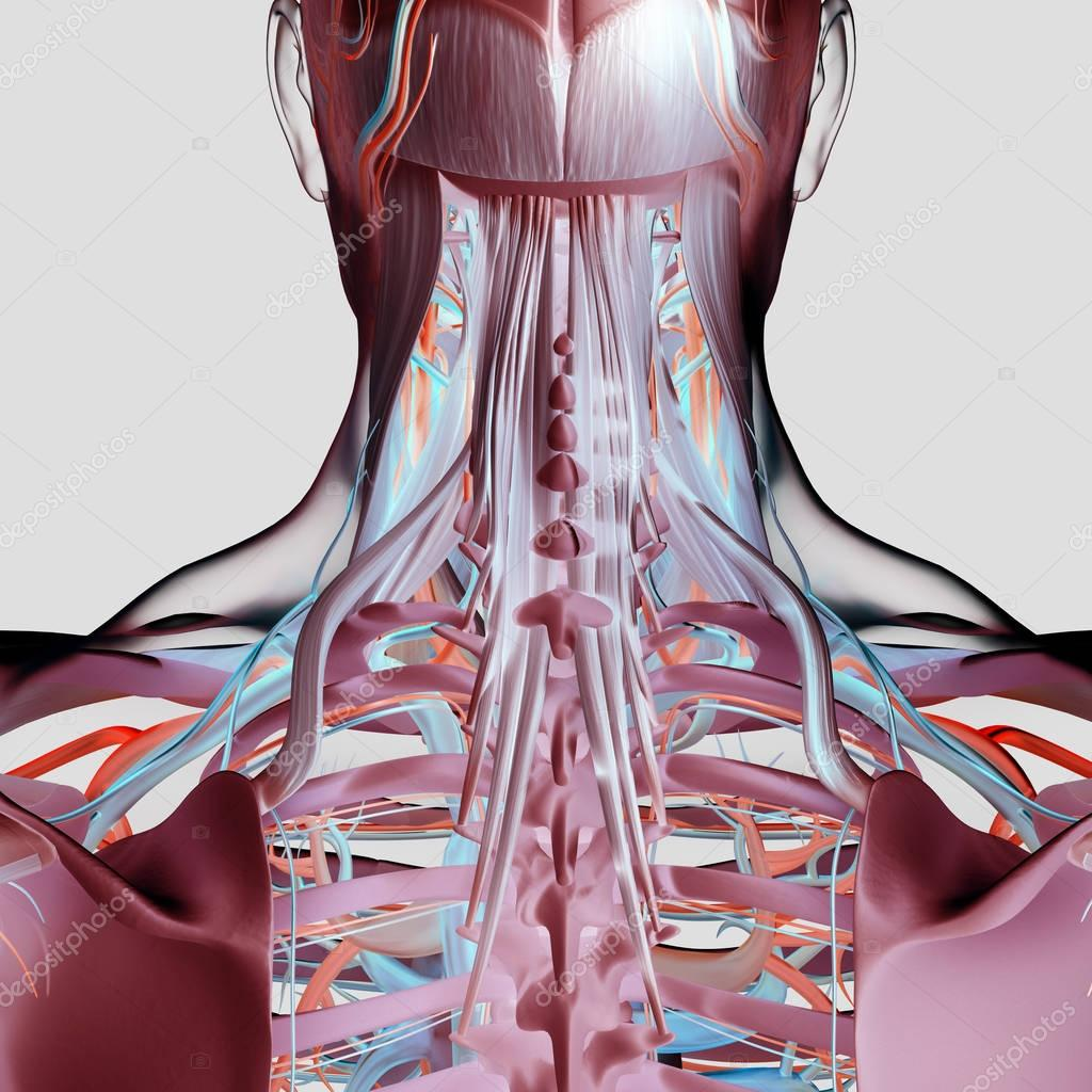 Human neck and spine anatomy model — Stock Photo © AnatomyInsider ...
