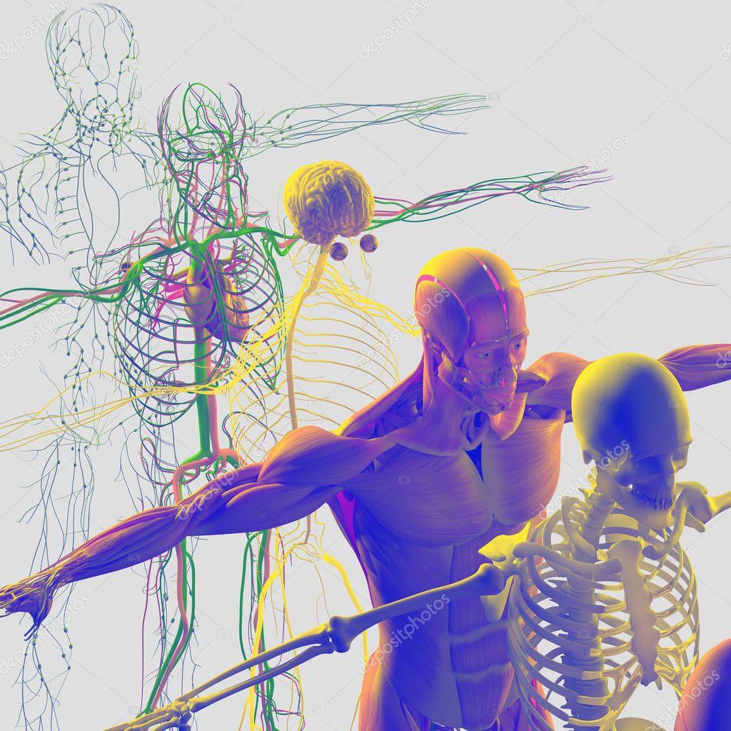 Despiece de anatomía humana — Foto de stock © AnatomyInsider #129013750