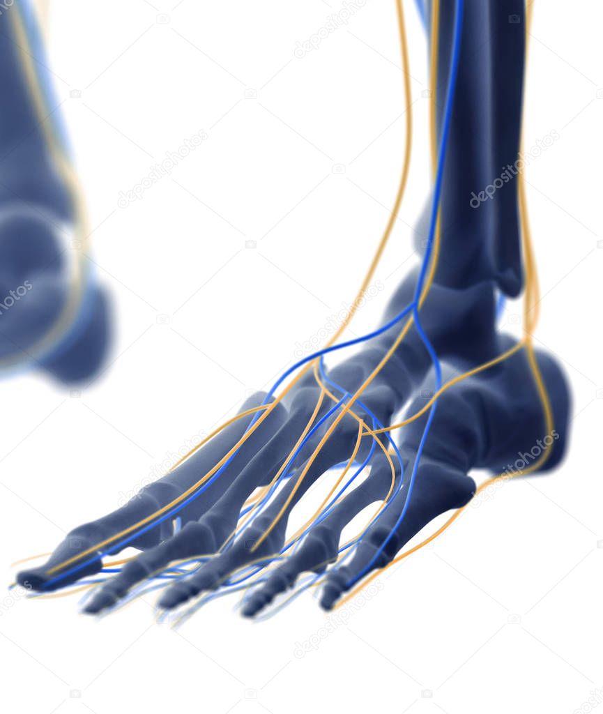 menschlicher Fuß-Anatomie-Modell — Stockfoto © AnatomyInsider #129013864