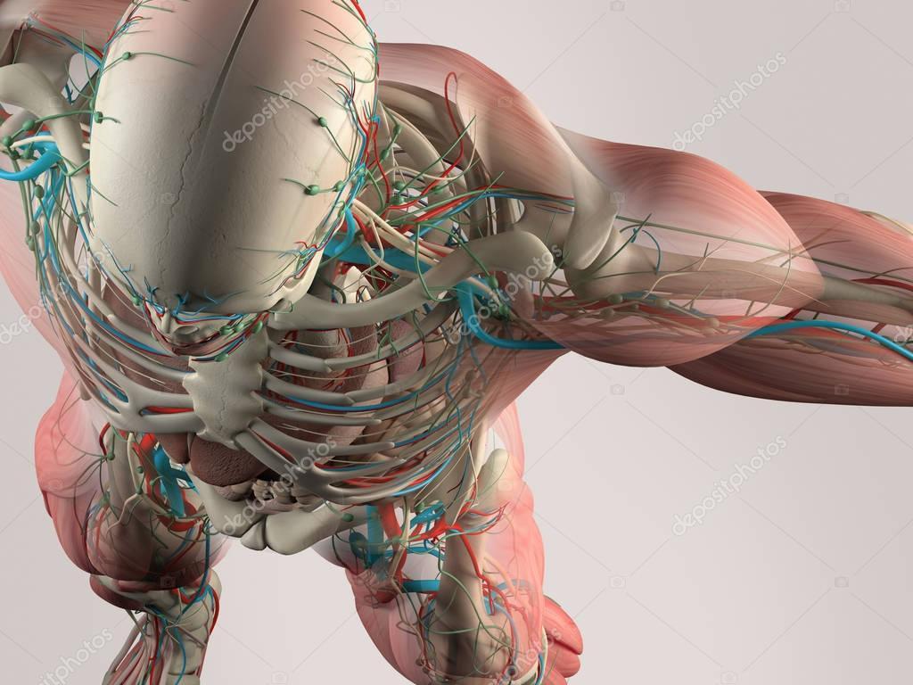 Gemütlich Schulter 3d Anatomie Fotos - Menschliche Anatomie Bilder ...