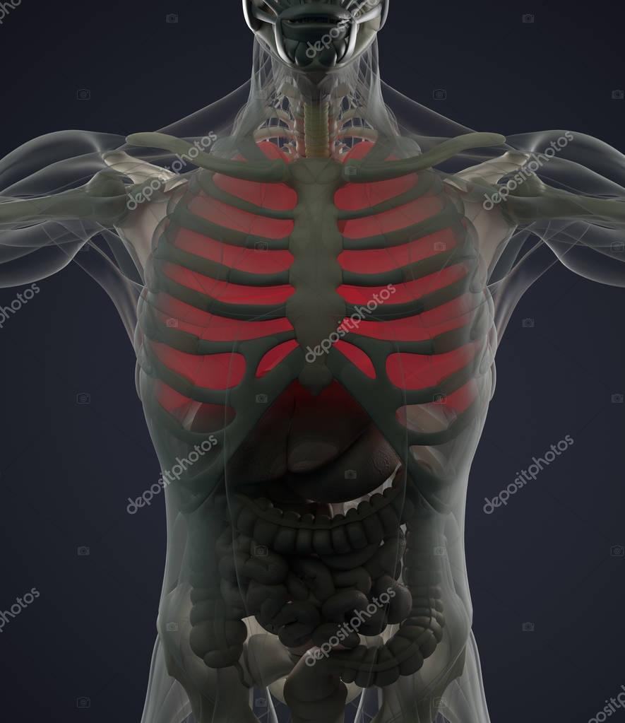 Modelo de anatomía de los pulmones — Foto de stock © AnatomyInsider ...