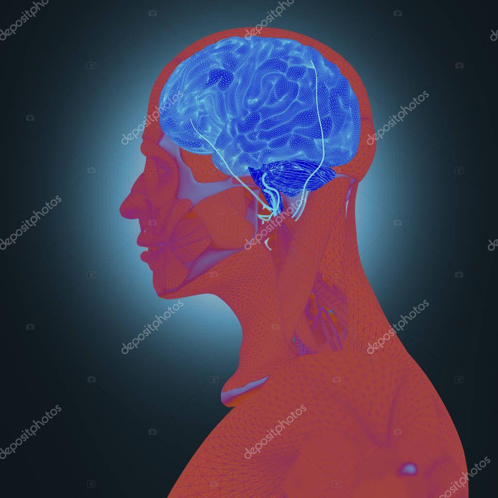 Menschliche Anatomie, Gehirn — Stockfoto © AnatomyInsider #129014818