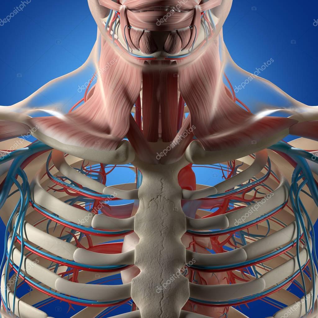 Menschlichen Brustkorb Anatomie Modell — Stockfoto © AnatomyInsider ...