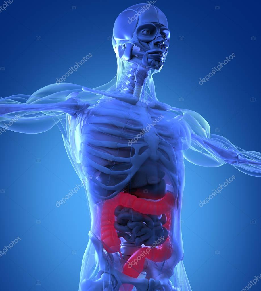 Human Colon Anatomy Model Stock Photo Anatomyinsider 129015468