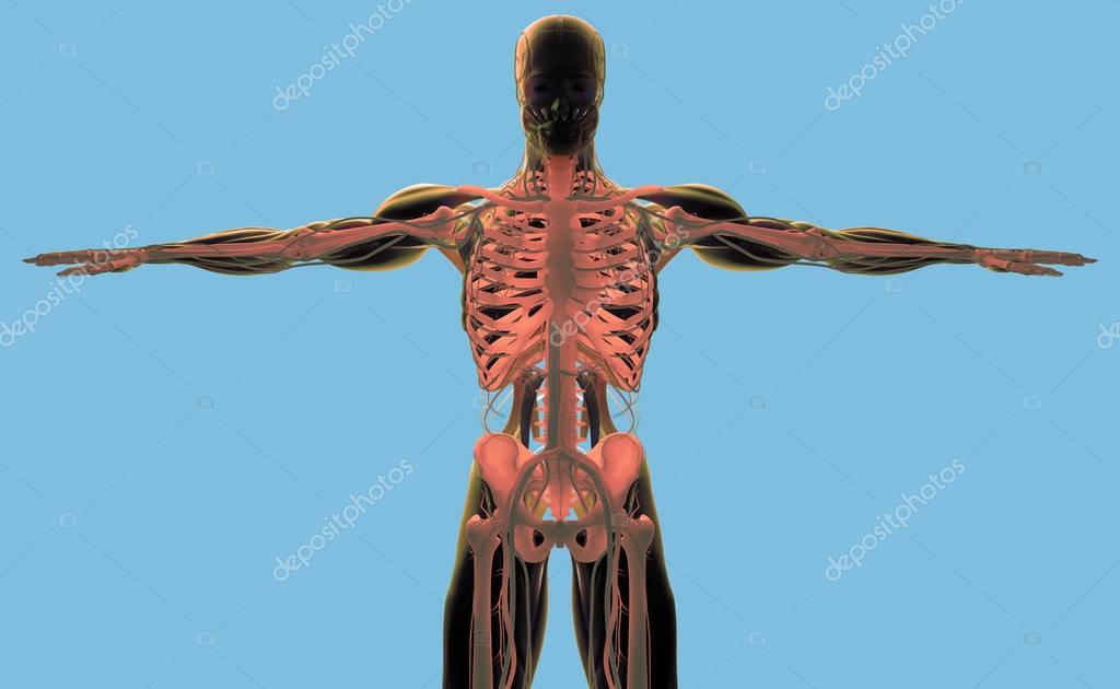 modelo de anatomía humana — Foto de stock © AnatomyInsider #129015622