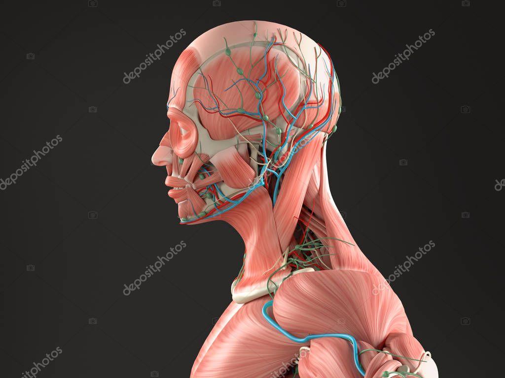 male anatomy model — Stock Photo © AnatomyInsider #129015646