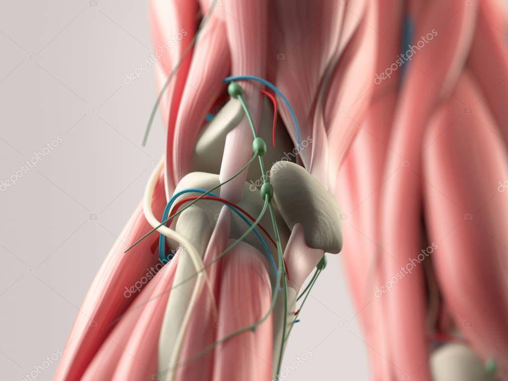 Menschlichen Knie Anatomie Modell — Stockfoto © AnatomyInsider ...