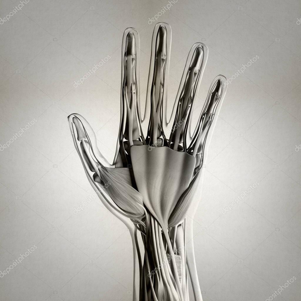 Human Hand Anatomy Model Stock Photo Anatomyinsider 129015728