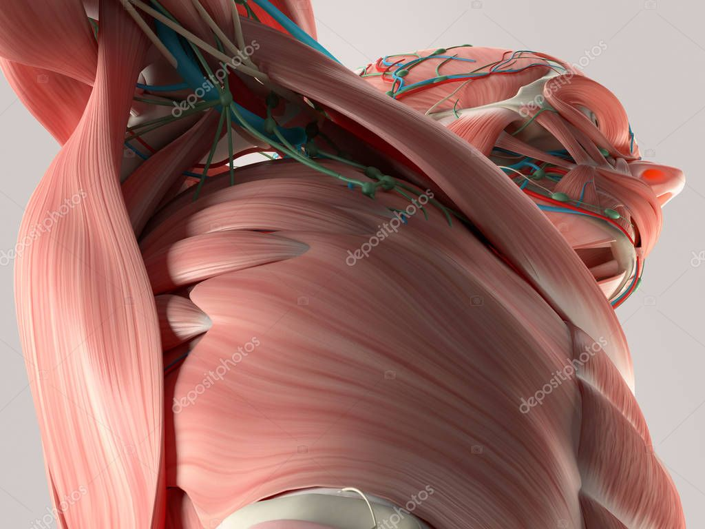Human torso anatomy model — Stock Photo © AnatomyInsider #129015852