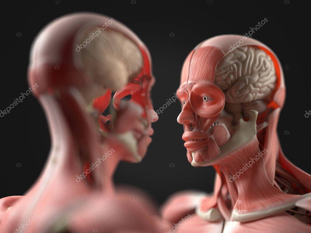 Mit Blick auf menschliche Anatomie Modelle — Stockfoto ...