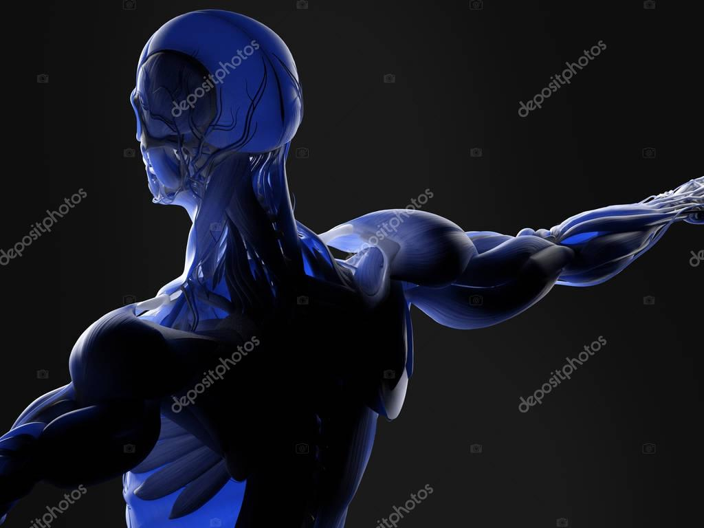 Human upper back anatomy model — Stock Photo © AnatomyInsider #129016002