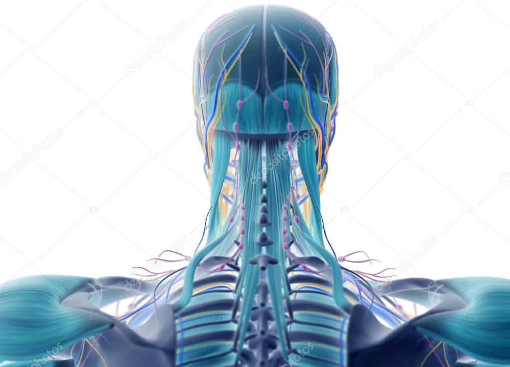 Anatomía humana cabeza atrás ver — Fotos de Stock © AnatomyInsider ...