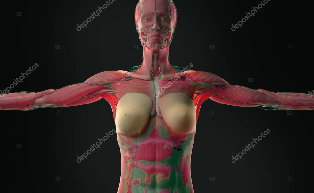 Anatomie des weiblichen Körpers — Stockfoto © AnatomyInsider #129016066