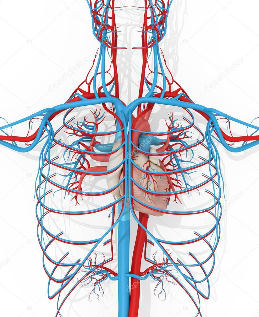 Heart Circulatory System Stock Photo Anatomyinsider 129016316
