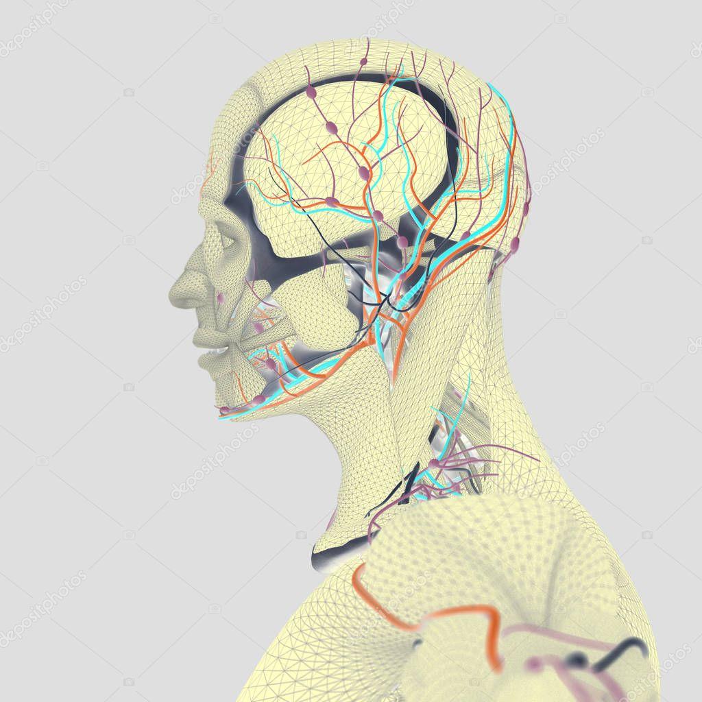 Menschliche Anatomie, Gehirn — Stockfoto © AnatomyInsider #129016372