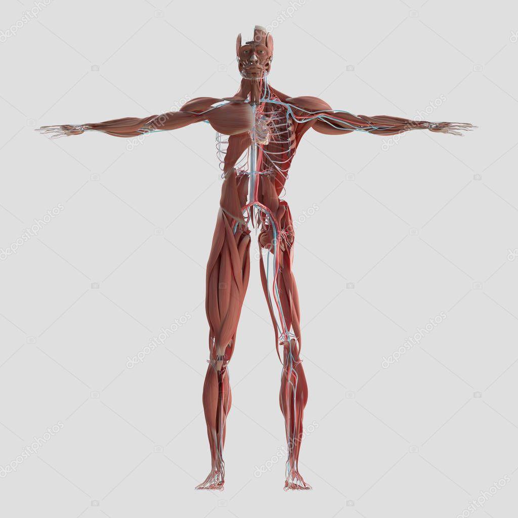 Muskuläre und vaskuläre System-Anatomie-Modell — Stockfoto ...
