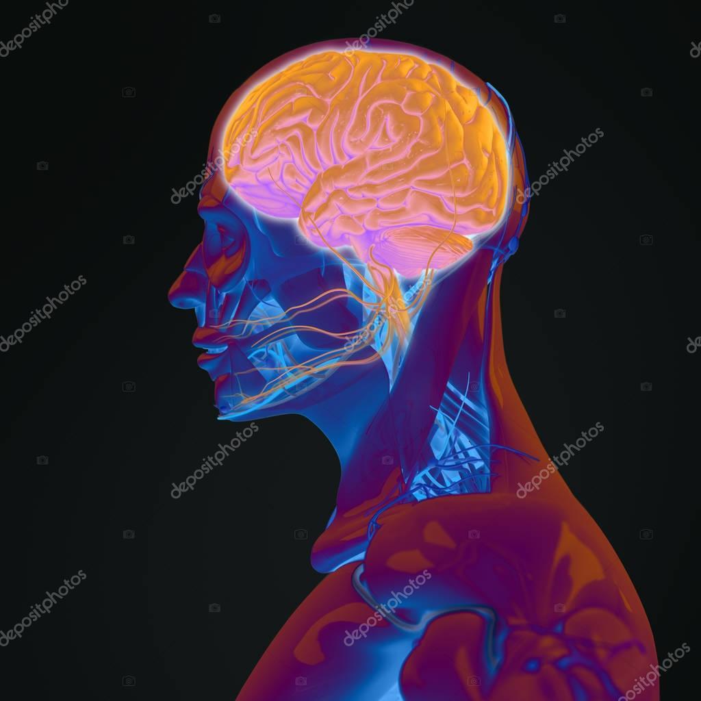 Human Head Anatomy Model Stock Photo Anatomyinsider 129016498